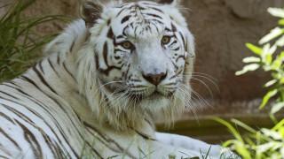 Ελβετία: Θανάσιμος τραυματισμός φύλακα από τίγρη σε ζωολογικό κήπο