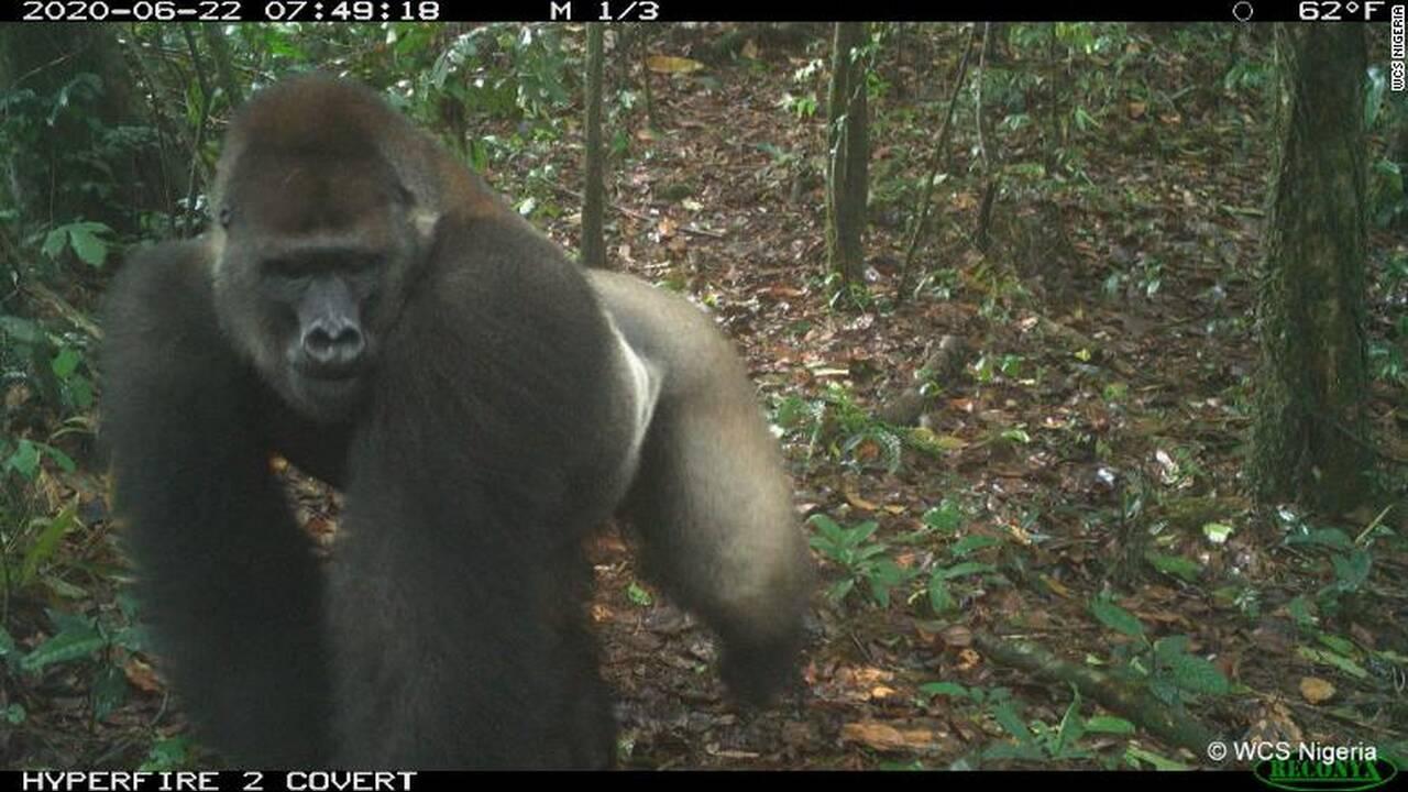 https://cdn.cnngreece.gr/media/news/2020/07/10/226692/photos/snapshot/gorillas_nigiria.jpg