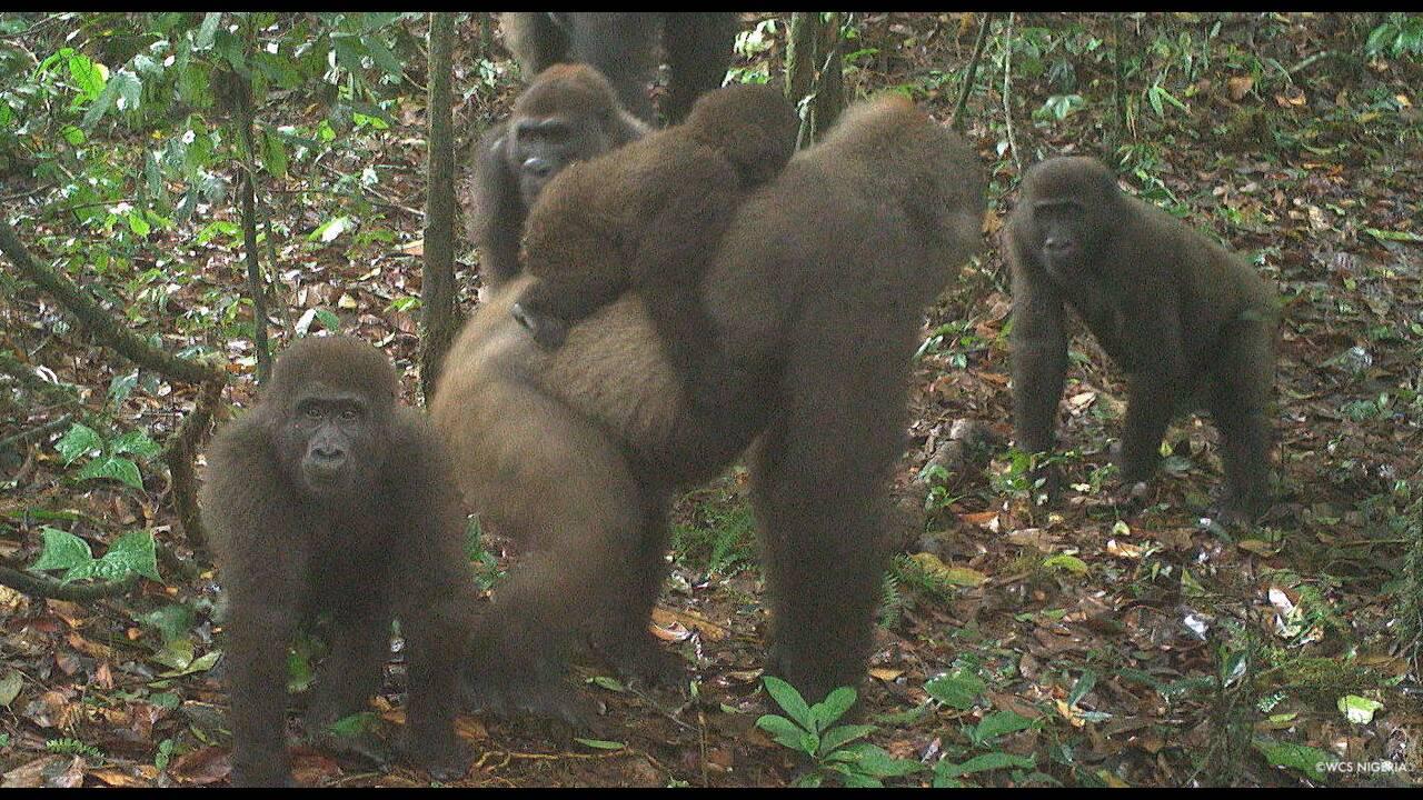 https://cdn.cnngreece.gr/media/news/2020/07/10/226692/photos/snapshot/gorillas_nigiria2.jpg