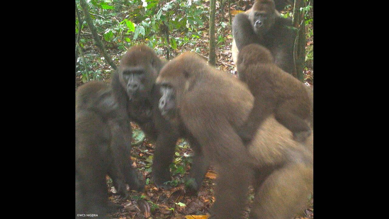 https://cdn.cnngreece.gr/media/news/2020/07/10/226692/photos/snapshot/gorillas_nigiria3.jpg