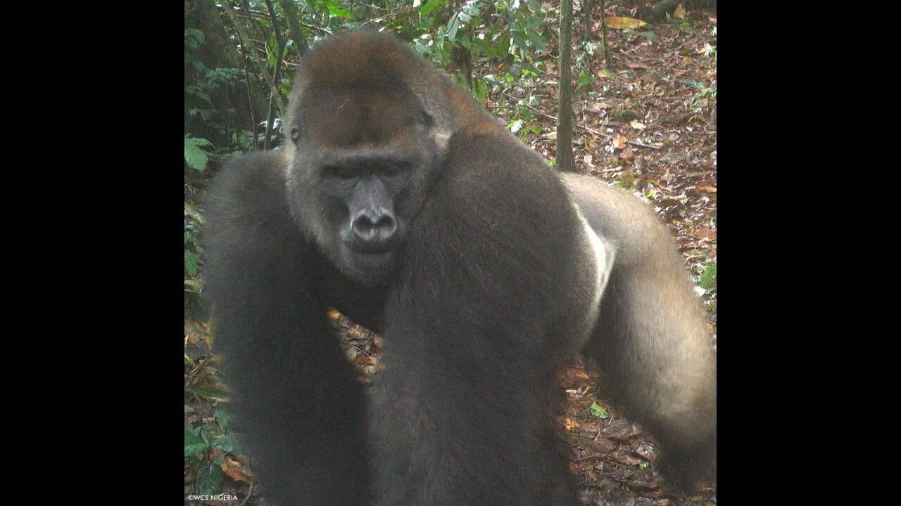 https://cdn.cnngreece.gr/media/news/2020/07/10/226692/photos/snapshot/gorillas_nigiria4.jpg