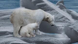 Έρευνα: Η κλιματική αλλαγή θα εξαφανίσει τις πολικές αρκούδες έως το τέλος του αιώνα
