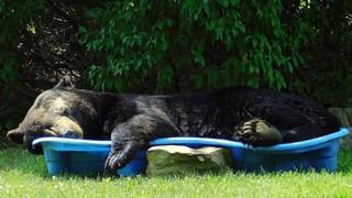 H απόλυτη καλοκαιρινή εικόνα: Τεράστια αρκούδα χαλαρώνει σε πισίνα