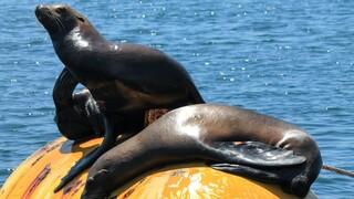 Αργεντινή: Θαλάσσιοι λέοντες επιστρέφουν στον ωκεανό μετά τη διάσωσή τους