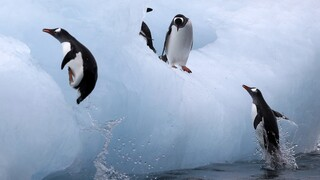 Ανταρκτική: Νέες αποικίες αυτοκρατορικών πιγκουίνων ανακαλύφθηκαν μέσω δορυφόρου