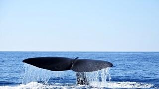 Τεράστια φάλαινα φυσητήρας στα νερά της Μάνης