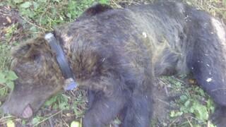Φλώρινα: Αρκούδα 250 κιλών παγιδεύτηκε σε παράνομη συρμάτινη θηλιά