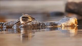 Αλιγάτορας εισπνέει ήλιο στο όνομα της επιστήμης: Δείτε τι θα συμβεί