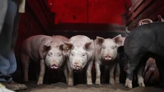 Ν. Κορέα: Μαζική σφαγή χοίρων μετά την εμφάνιση κρουσμάτων αφρικανικής πανώλης