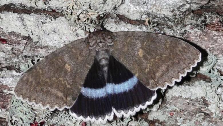 Στο Τσερνόμπιλ ανακάλυψαν πεταλούδα σε... μέγεθος πουλιού