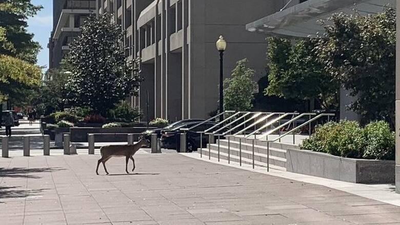 Ελάφι κόβει βόλτες έξω από το ΔΝΤ - Πόλη «φάντασμα» η Ουάσινγκτον