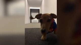 Αξιολάτρευτος σκύλος... Σούπερμαν τρέχει σαν αστραπή!