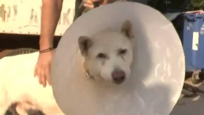 Νίκαια: Μαχητής ο Έκτορας, ο σκύλος που κακοποιήθηκε βάναυσα - Επιστρέφει στο σπίτι του
