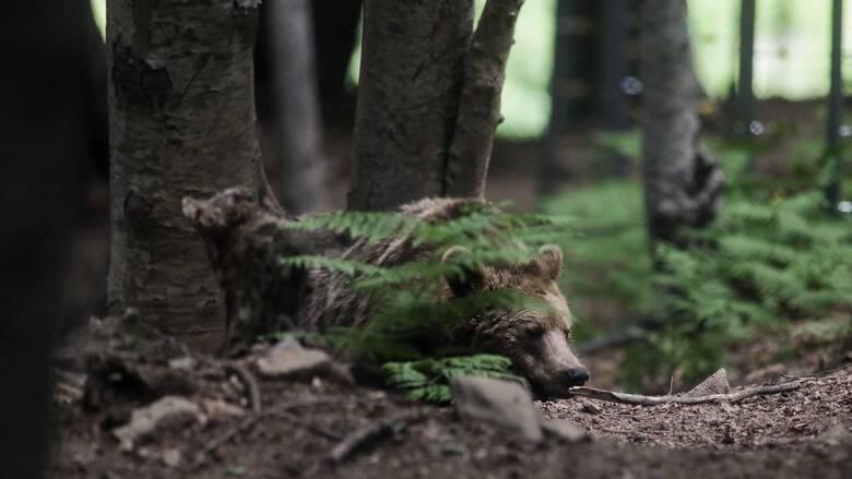 Ιαπωνία: Τρομακτικές αναμετρήσεις με αρκούδες που βγαίνουν στις πόλεις για να φάνε