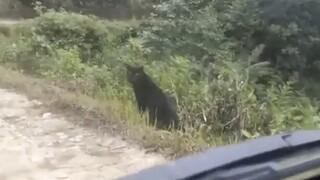 Viral έχει γίνει βίντεο με έναν μαύρο πάνθηρα σε δάσος της Ινδίας