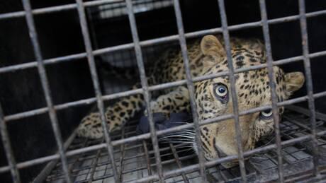 Φλόριντα: Αγρια επίθεση λεοπάρδαλης σε άνδρα – Είχε πληρώσει 150 δολάρια για μια «απόλυτη εμπειρία»