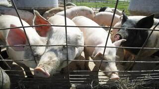 Καναδάς: Πρώτη περίπτωση μόλυνσης ανθρώπου από τη γρίπη των χοίρων H1N2 στη χώρα