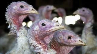 Γρίπη πτηνών: Μαζικές θανατώσεις πουλερικών μετά τον εντοπισμό εξαιρετικά παθογόνου στελέχους