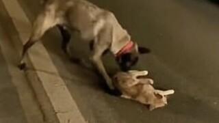 Κίνα: Σκύλος προσπαθεί να βοηθήσει μια γάτα που σκοτώθηκε από διερχόμενο όχημα
