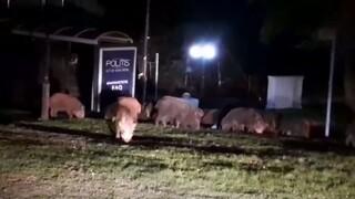 Θεσσαλονίκη: Αγριογούρουνα βγήκαν για... βόλτα στο Πανόραμα