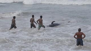 Σρι Λάνκα: Εντυπωσιακή διάσωση 100 φαλαινών που ξεβράστηκαν στην ακτή