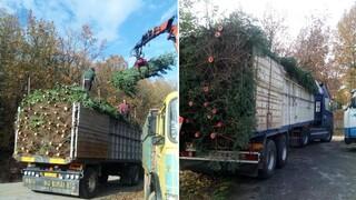 Χριστουγεννιάτικα δέντρα: Κανονικά συνεχίζουν τη δραστηριότητά τους οι ελατοπαραγωγοί