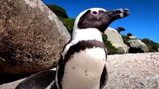 Νότια Αφρική: Ένα μοναδικό πείραμα έρχεται να σώσει τον αφρικανικό πιγκουίνο