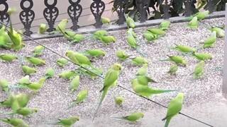 Ινδία: Εκατοντάδες παπαγάλοι επισκέπτονται το ίδιο σπίτι εδώ και 14 χρόνια - Δείτε γιατί