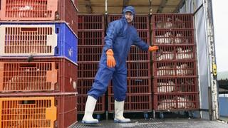 Γρίπη των πτηνών: Θανατώθηκαν περίπου 190.000 πουλερικά στην Ολλανδία