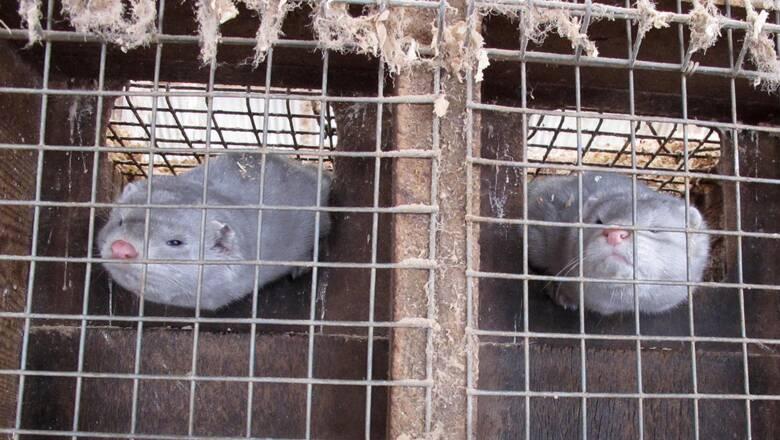 Εντοπίστηκε κορωνοϊός σε εκτροφείο βιζόν στη Γαλλία - Προς θανάτωση 1000 ζώα