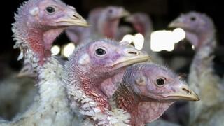 Αγγλία: Κρούσματα γρίπης των πτηνών σε φάρμα με γαλοπούλες