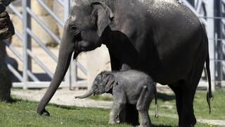 Γεννητούρια στην Ιαπωνία: Το πρώτο ελεφαντακι μετά από 138 χρόνια στον ζωολογικό κήπο του Τόκιο