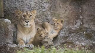 Ισπανία: Τέσσερα λιοντάρια σε ζωολογικό κήπο βρέθηκαν θετικά στον κορωνοϊό