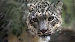 Τρεις λεοπαρδάλεις του χιονιού θετικές στον κορωνοϊό σε ζωολογικό κήπο