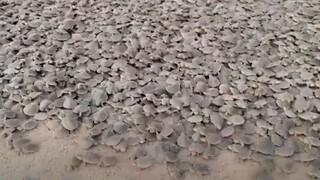 Βραζιλία: 92.000 χελωνάκια εκκολάφθηκαν σε προστατευμένη παραλία
