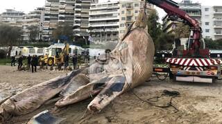 Απίστευτες εικόνες: Ξεβράστηκε φάλαινα περίπου οκτώ μέτρων στη Φρεαττύδα