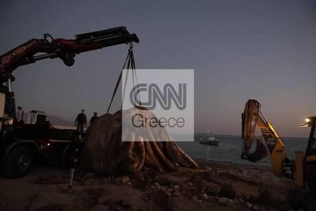 Πειραιάς: Πώς ξεβράστηκε η φάλαινα στη Φρεαττύδα