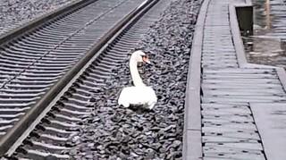 Γερμανία: Πώς ένας κύκνος που πενθούσε το ταίρι του προκάλεσε «έμφραγμα» στην κυκλοφορία των τρένων