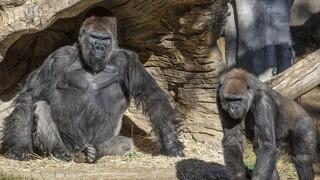 Και οι γορίλες νοσούν με κορωνοϊό – Σε ζωολογικό κήπο του Σαν Ντιέγκο τα δύο πρώτα κρούσματα