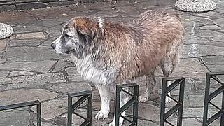 Ένα σπίτι για τον Αρκουδέλη: Τη δική του στέγη απέκτησε ο σκύλος-γίγαντας του Λευκού Πύργου