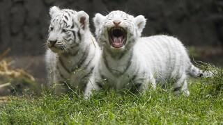 Πακιστάν: Λευκά τιγράκια σε ζωολογικό πάρκο πέθαναν πιθανόν από κορωνοϊό