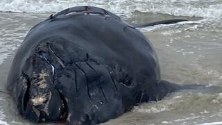 Νέα Ζηλανδία: Δεκάδες φάλαινες πιλότοι εξώκειλαν σε ακτή της χώρας