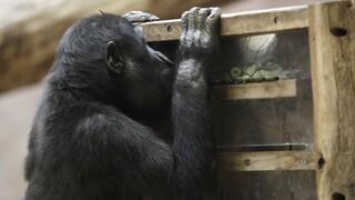 Κορωνοϊός: Κρούσματα σε γορίλα και λιοντάρια στον ζωολογικό κήπο της Πράγας