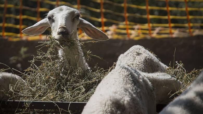 «Αγκαλιάστε ένα πρόβατο»: Η εναλλακτική πρόταση για όσους αισθάνονται μοναξιά λόγω πανδημίας