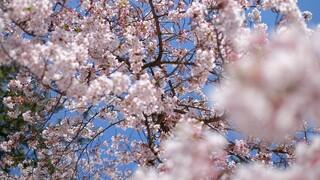Ιαπωνία: Ανθίζουν πρόωρα οι κερασιές - «Χτύπημα» της κλιματικής αλλαγής