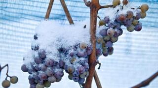 «Τραγωδία»: Σε απελπισία οι Γάλλοι οινοπαραγωγοί μετά τον χειρότερο παγετό εδώ και 30 χρόνια