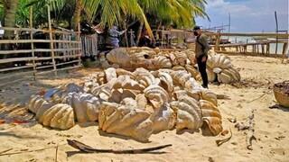 Αχιβάδες-γίγας αξίας σχεδόν 25 εκατ. δολαρίων κατέσχεσαν οι Αρχές των Φιλιππίνων