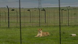 Η Νότια Αφρική θα απαγορεύσει την εκτροφή λιονταριών σε αιχμαλωσία