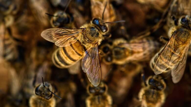 Ολλανδία: Ερευνητές εκπαίδευσαν μέλισσες για να εντοπίζουν τις μολύνσεις Covid-19