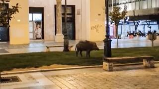 Θεσσαλονίκη όπως… γαλατικό χωριό: Αγριογούρουνο έκοβε βόλτες στην Αριστοτέλους